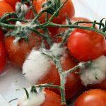 Пищевая плесень: как она вредит организму человека?