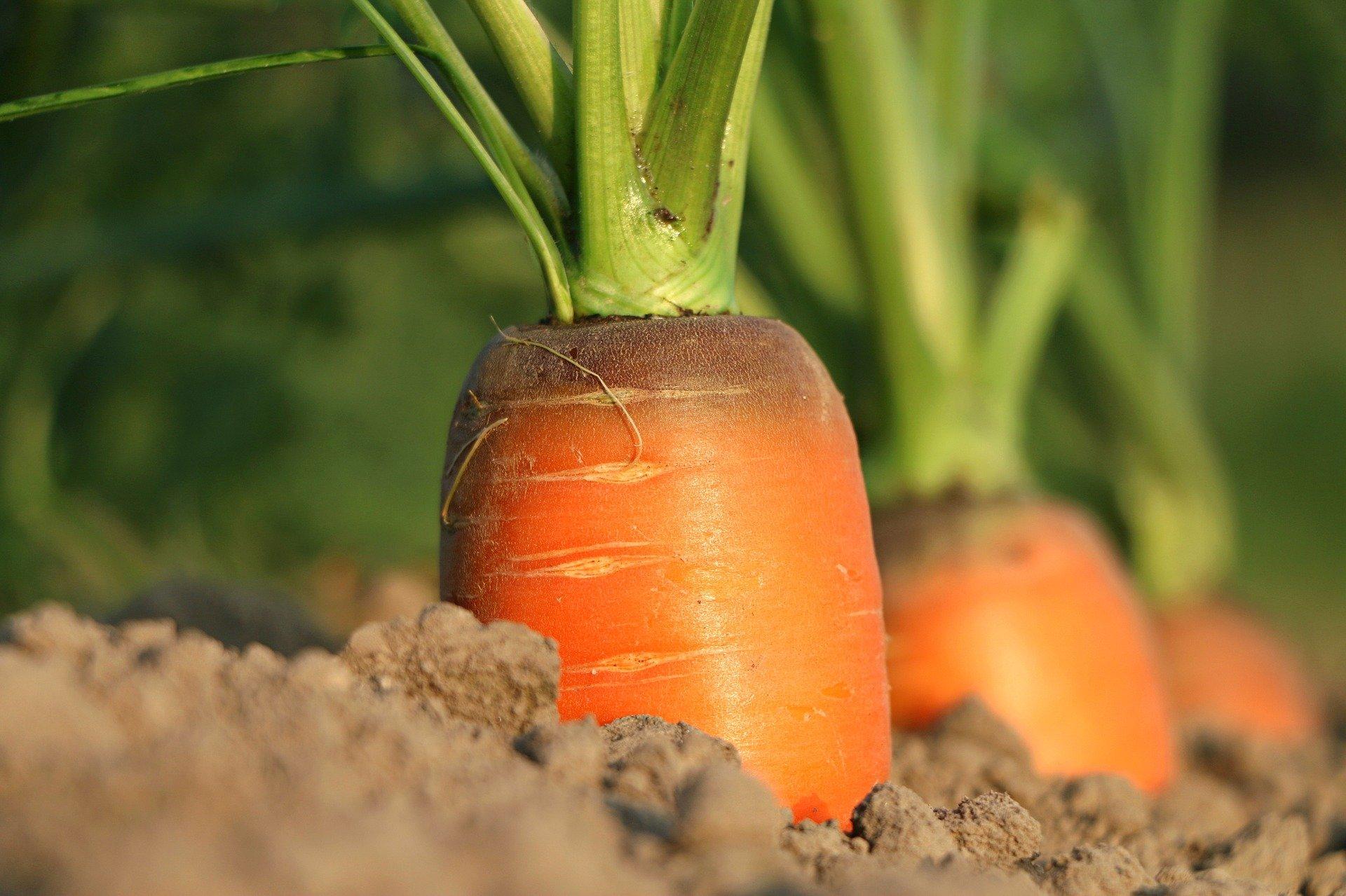 вред моркови